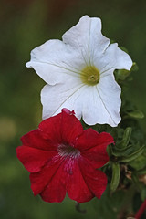 Red and White Flowers Macro (hbickel) Tags: redflower whiteflower macro macrolense canont6i canon photoaday pad