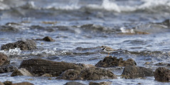 Ringed Plover (Paul..A) Tags: ringedplover ringed plover wadingbird wader scotland