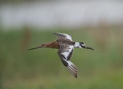 Black-tailed Godwit 21-07-2018-2186 (seandarcy2) Tags: godwit blacktailed waders birds wildlife fenland marsh lincs uk