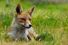 Waiting (peeteninge) Tags: fox animals animal wildlife awd amsterdamsewaterleidingduinen vos dieren dier nature natuur fujifilm fujifilmxt2 xf80mmf28