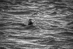 Cheeky Seal - Playing Peek-a-Boo (SNAPShots by Patrick J. Whitfield) Tags: seal mammals animals nature outside phoques sealions excursionenmer excursion animalphotography sea water ocean waves wet sunlight eos cute texture details dof bnw blackwhite blackandwhite noire noiretblanc monochrome shadows bw