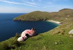 watching keem bay (annabunin) Tags: ireland achill island sheep atlantic beach grass hills lamb