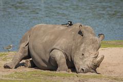 Witte neushoorn - Beekse Bergen - Hilvarenbeek (Jan de Neijs Photography) Tags: dierentuin zoo tamron tamron150600 150600 dierenpark nl holland thenetherlands dieniederlande utrecht diergaarde animal dier beeksebergen neushoorn hilvarenbeek rhinocerotidae rhino safariparkbeeksebergen safaripark witteneushoorn breedlipneushoorn sbb