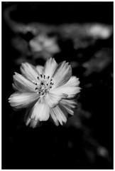 """Les jardins Familiaux"" (ginette.thevenot) Tags: flower jardin garden sony rx100 2018 monochromme nb blackwhite noirblanc"