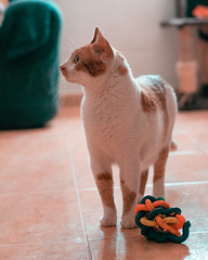Boby playing (fcojavier1991) Tags: nikon nikond3300 nikkor50mm orangeteal pet pets animals animales mascotas cat cats dog nice beautiful beauty adorable