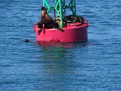 DSC03620 (jrucker94) Tags: juneau alaska cruise cruiseport seal seals buoy ocean inlet red green