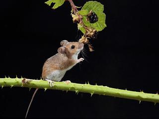 Wood Mouse eating blackberries