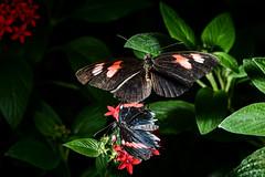 Postman interaction 3/4 (PChamaeleoMH) Tags: butterflies flash flight horniman insects macro postmanbutterfly
