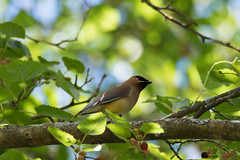 arcadia2018-253 (gtxjimmy) Tags: nikond7500 nikon d7500 massachusetts newengland massaudubon audubonsociety bird cedarwaxwing waxwing arcadiawildlifesanctuary