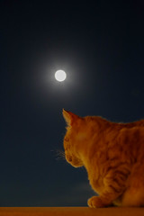 IMG_4477 Rubio, Mallorca (Fernando Sa Rapita) Tags: canon canoneos eos6d baleares mallorca sarapita rubio cat gato mascota pet moon luna