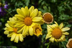 Flowers by the door (aixcracker) Tags: flowers blommor kukkia borgå porvoo suomi finland nikond800 nikon af 60mm f28d micro närbild lähikuva summer sommar kesä june juni kesäkuu green grön vihreä yellow gul keltainen
