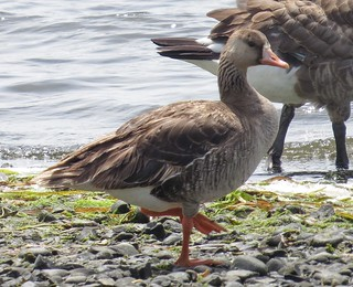 Greater White-fronted Goose - on the shore of Esquimalt Lagoon at Royal Roads