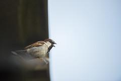 House Sparrow (Benjamin Joseph Andrew) Tags: bird passerine songbird farm farmland farming agriculture building garden home urban sitting perching summer singing