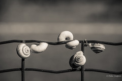 A slow start is still a start (Peter Jaspers (sorry less time to comment)) Tags: frompeterj© 2018 olympus zuiko omd em10 1240mm28 macro bw bn zwartwit hff fence fenced happyfencefriday monchrome france lourmarin dof snail escargot vaucluse paca provence