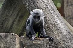 Colobus monkey baby (ucumari photography) Tags: ucumariphotography colobusmonkey monkey annimal mammal young baby lowrypark zoo tampa fl florida may 2018 dsc9014 specanimal