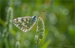 11 maggio 2018 (adrianaaprati) Tags: caffarella farfalla butterfly drops park bokeh blur