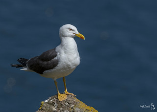 Lesser-black Backed Gull, Larus fuscus