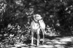 Sniffing the Air (Shastajak) Tags: sql pronouncedsequel iknowitsasillyname lurcher greyhound bullterrier crossbreed sighthound gazehound dog rehomed rescued bokeh blackandwhite monochrome helios402f1585mm littledoglaughedstories