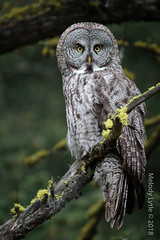 Great Gray Owl (karenmelody) Tags: animal animals bird birds britishcolumbia canada caribooregion greatgrayowl strigiformes strixnebulosa vertebrate vertebrates owl owls