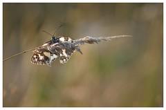 Le réveil - Awakening (isabelle.bienfait) Tags: demideuil papillon butterfly schmetterling marbledwhite échiquiercommun nature wildlife schachbrettfalter schmetterlingschachbrettfalter farfalla nikond7200 sigma sigma105