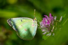 So good! Si Bon! (Yves Gauvreau) Tags: butterfly macro flowers world100f