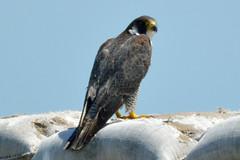 Peregrine Falcon (Mike J O Lewis) Tags: newforest hampshire d3200 nikon bird nature peregrine falcon peregrinefalcon