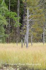 Pine Barrons (10) (Framemaker 2014) Tags: pine barrens wharton state park burlington county new jersey forest united states america