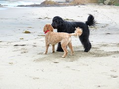 Meeting Piper (Bennilover) Tags: labradoodle bennigirl piper doodle playing barking hiding zoomies lagunabeach