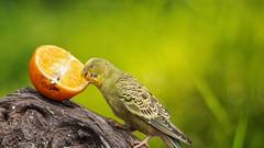 L Orange - 5513 (ΨᗩSᗰIᘉᗴ HᗴᘉS +19 000 000 thx) Tags: bird fuit yummy orange parrot perroquet green hensyasmine namur belgium europa aaa namuroise look photo friends be wow yasminehens interest intersting eu fr greatphotographers lanamuroise tellmeastory flickering