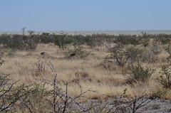 DSC_2445 (Andrew Nakamura) Tags: etosha namibia etoshanationalpark projectdragonfly earthexpeditions mammal bigcat felid leopard africanleopard warthog animal wildlife