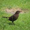 Mrs Blackbird HWW (Kez West) Tags: blackbird hww birdsfeeding garden songbird nature wildlife wings bird summer