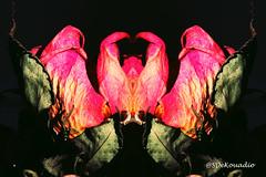 Roses #hypnotique (Stephenie DeKouadio) Tags: abstractflower abstract abstractart abstractflowers artwork art artistic hypnotique flower flowers flowersabstract flowerabstract macro macroabstract beautiful beauty darkandlight light roses rose