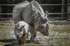 Chester Zoo #1 (joshdgeorge7) Tags: zoo rhino endangered pentax sigma zoom summer chester cheshire animal rare