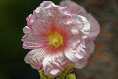 Fécondée - Fertilized (p.franche Sick - Malade) Tags: fleur flower macro nature bokeh sony sonyalpha65 dxo photolab bruxelles brussel brussels belgium belgique belgïe europe pfranche pascalfranche schaerbeek schaarbeek rosetémière rose blume 花 blomst flor פרח virág bunga bláth blóm bloem kwiat цветок kvetina blomma květina ดอกไม้ hoa زهرة closeup