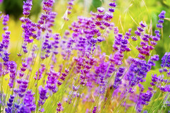 Awesome flowers .. (Julie Greg) Tags: flower flowers fujifilmxt20 nature colours levander park plant garden kent england