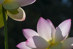 Lotus in space (Tim Brown's Pictures) Tags: washington dc kenilworthaquaticgardens wetlands flowers marsh lotus lotusblossom lotusflower water visitors anacostia unitedstates