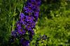 Delphinium (Tor Photography) Tags: delphinium torphotography pentax pentaxk30 summer garden flowers plants leaves shrubs bush border purple blue green
