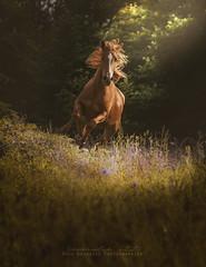 F L I C K A « L'éternité » (Âmes Animales Photographies • Cassandre SCZ) Tags: cheval chevaux nikon nikond750 nikonfrance nature natural nikon750 nikonfr nikonuk nikonusa nikoneurope naturel nikonpassion nikonteam nikonofficiel horse horsephotography horses horsephotographer horsephotograph horsesphotographer horsesphotography