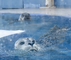 Those eyes (donna_0622) Tags: seals gulfarium fl florida summer vacation nikon d750