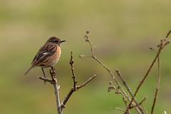Female Stonechat (ejwwest) Tags: morden birds wildlife arne dorset wareham purbeckdistrict england unitedkingdom gb