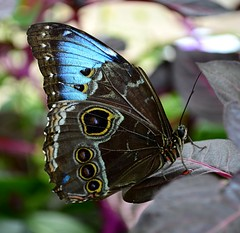Showing Blue (explored) (pjpink) Tags: butterfly winged insect lewisginterbotanicalgardens lewisginter lewisginterbotanicalgarden northside rva richmond virginia june 2018 summer pjpink 2catswithcameras