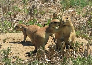 Gossipping Prairie Dogs.