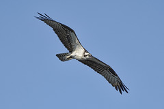 _A734946 (bram-sowers) Tags: sonyfe2470gm sonyfe100400mmgm sonya7riii warsawvirginia rappahannockriver eagle osprey tycho chez