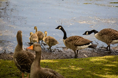 A walk round Lochend Park June 2018-21 (Philip Gillespie) Tags: edinburgh scotland canon 5dsr park nature birds chicks young baby swans ducks geese seagulls pigeons water wet splash wave outdoor outside trees grass reeds branches leaves bills feet fur feathers sun sunlight sky clouds colour green blue orange yellow wildlife lake pond pool eyes flying nesting babies landing flowers petals black white magpie mono monochrome
