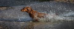 I'm out (paullangton) Tags: dog spaniel golden beach water sand cornwall sea canon sun swimmimg play sky coast wet running action blue splash pet outdoor