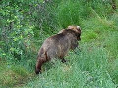 DSC07534 (jrucker94) Tags: alaska katmai katmainationalpark nationalpark bear bears grizzly grizzlybear brooksriver nature outdoors
