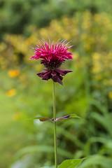 (TheLittleMiss) Tags: flower magenta pink red monarda beebalm summer plants garden