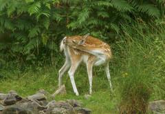Fallow Deer (RJT11) Tags: bradgate deer park leicestershire nikon 80400 400mm f9 1160 400asa bracken rocks nature soft nik