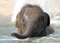 Asiatic elephant sanuk artis JN6A5557 (j.a.kok) Tags: olifant elephant asia asiaticelephant azie aziatischeolifant animal artis mammal zoogdier dier herbivore sanuk