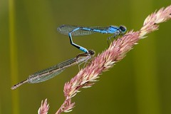 Damselflies (Karen_Chappell) Tags: macro insect grandconcourse kennyspond green blue damselfly stjohns newfoundland canada nature bokeh grass insects atlanticcanada avalonpeninsula eastcoast nfld